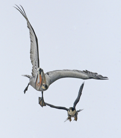 Peregrine Falcon Attacking Pelicans