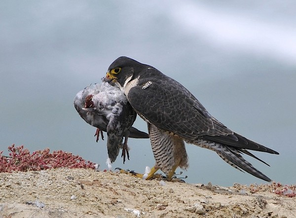 Peregrine Falcon Attacking