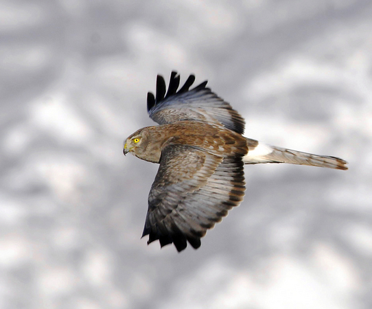 Male Northern Harrier (the Gray Ghost) hunting over a frozen winter marshland.  : 2011 Elusive Gray Ghost : Peregrine Falcon photos by Will James Sooter