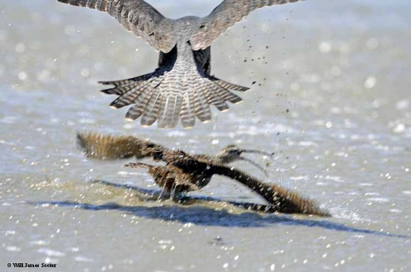Falcon attacks a whimbrel on the shoreline.  : New 2013 Peregrine Falcon images : Peregrine Falcon photos by Will James Sooter