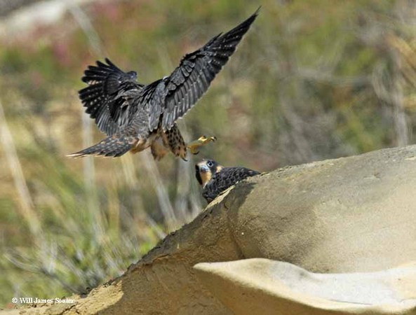 Juvenile lands to it's sibling at the top of the canyon.  : 2013 Peregrine Falcon Juveniles : Peregrine Falcon photos by Will James Sooter