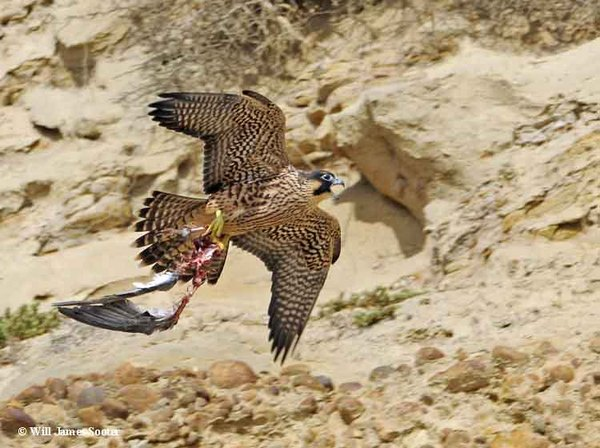 Juvenile with prey remains flys along bluff.  : 2013 Peregrine Falcon Juveniles : Peregrine Falcon photos by Will James Sooter