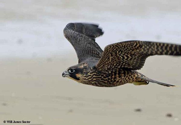 Juvenile flys low over the shoreline.  : 2013 Peregrine Falcon Juveniles : Peregrine Falcon photos by Will James Sooter
