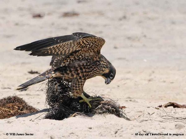 Juvenile Falcon caught in Seagrass on the beach.  : 2013 Peregrine Falcon Juveniles : Peregrine Falcon photos by Will James Sooter