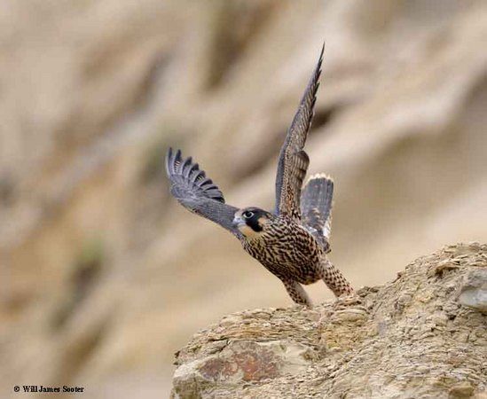 Young Tiercel launches from ridge. : 2013 Peregrine Falcon Juveniles : Peregrine Falcon photos by Will James Sooter