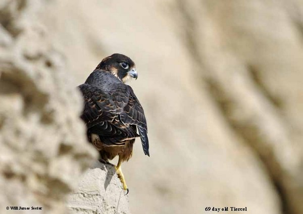 68 day old Tiercel perched on the bluff watching squirrels on the beach. : 2013 Peregrine Falcon Juveniles : Peregrine Falcon photos by Will James Sooter
