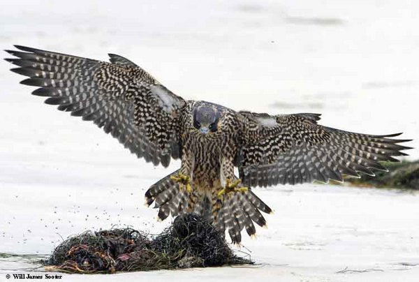 Juvenile Falcon landing on seagrass on the beach.  : 2013 Peregrine Falcon Juveniles : Peregrine Falcon photos by Will James Sooter