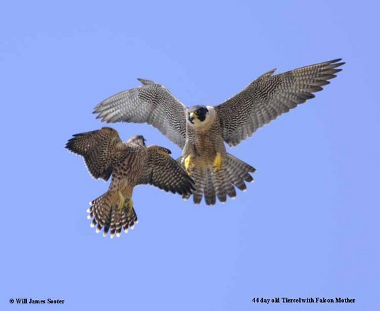44 day old Tiercel jousting in flight with Falcon Mother.  : 2013 Peregrine Falcon Juveniles : Peregrine Falcon photos by Will James Sooter