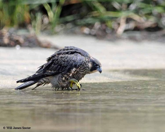 58 day old juvenile Falcon entering a stream of runoff water on the beach to cool off and take a bath.  : 2013 Peregrine Falcon Juveniles : Peregrine Falcon photos by Will James Sooter
