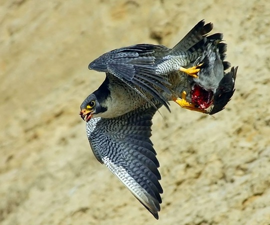 Tundra Falcon flying with prey, Torrey Pines  : Tundra Peregrine at Torrey Pines : Peregrine Falcon photos by Will James Sooter